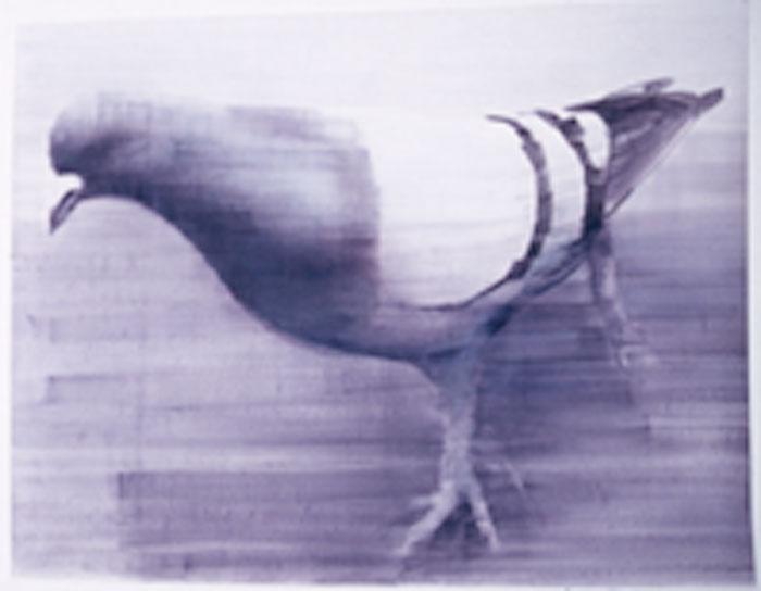 pigeon-marcello